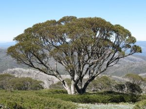 Snow Gum in the Snowy Mountains