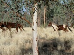 Brumbies on the run in Central Australia