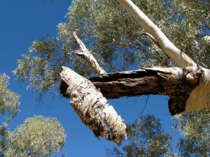 Looking up at a River Red Gum in Serpentine Gorge