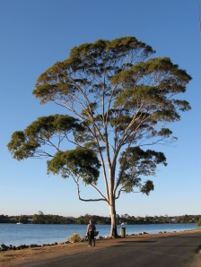 Sydney Blue Gum on the Hastings River