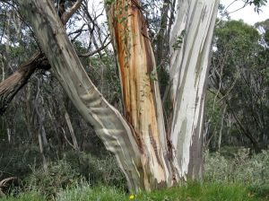 Snow gum (Eucalyptus pauciflora)