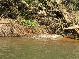 Crocodile in the Katherine River