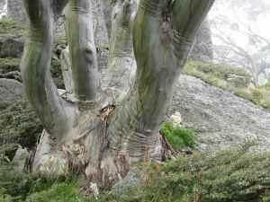 Eucalyptus Stellulata or Black Sallee