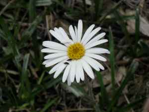 Snow Daisy close-up
