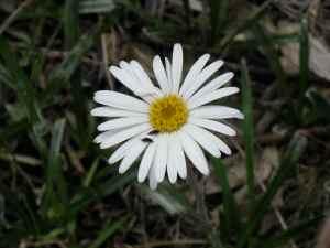 Snow Daisy close-up