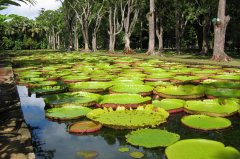 Giant water lilies, Pamplemousses