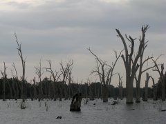 Dead gums in Lake Mulwala
