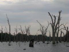 Dead gums in Lake Mulwala