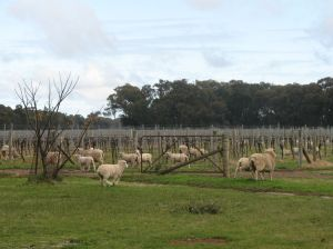 Sheep among the vines at Stanton and Killeen