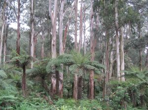 Sherbrooke Forest and Eucalyptus regnans