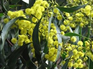 Image of Golden Wattle